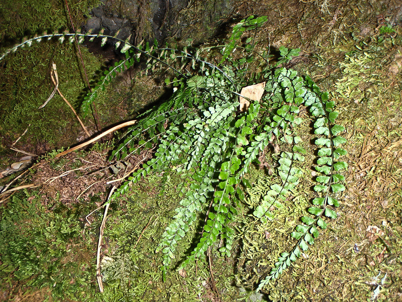"Asplenium peruvianum var. insulare (East Maui)This image is licensed under the Creative Commons Attribution-NonCommercial 3.0 Unported license.  You may share and adapt this work, but only with attribution (""by Hank L. Oppenheimer"") and only for non-commercial purposes unless permission is obtained from the copyright-holder (contact webmaster@hear.org)."