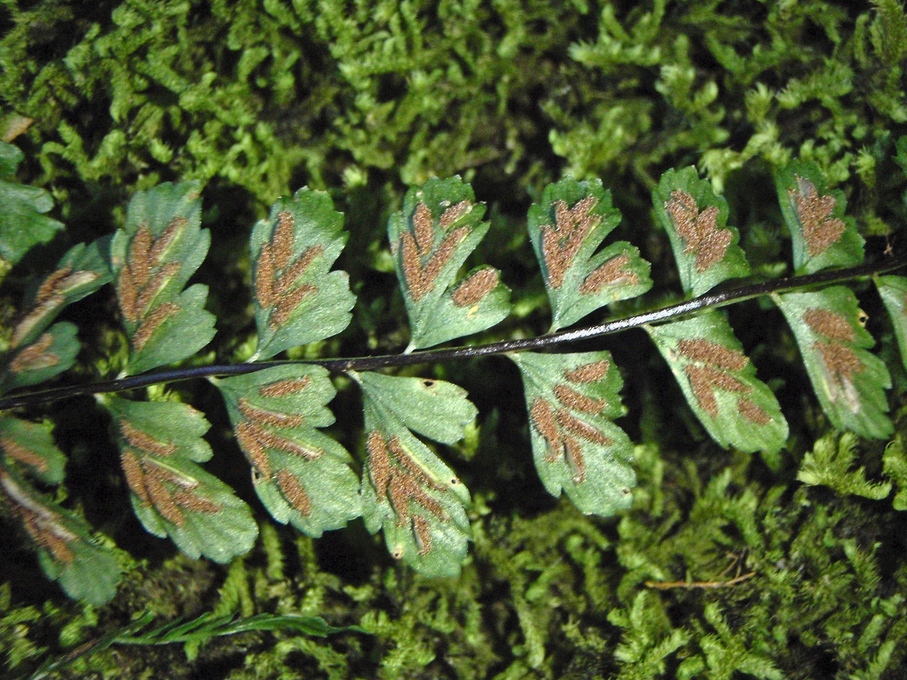 """Asplenium peruvianum var. insulare (East Maui)This image is licensed under the Creative Commons Attribution-NonCommercial 3.0 Unported license.  You may share and adapt this work, but only with attribution (""""by Hank L. Oppenheimer"""") and only for non-commercial purposes unless permission is obtained from the copyright-holder (contact webmaster@hear.org)."""