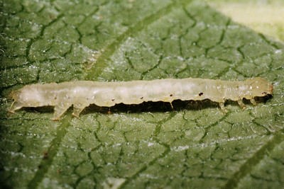 Aumakua omaomao (Lepidoptera: Noctuidae) on Clermontia kakeana, West Maui