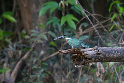 Amazon Kingfisher (Chloroceryle amazona)