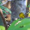 Yellow-billed Bulbul (Acritillis indica)