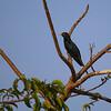 Asian Koel (Eudynamys scolopaceus)