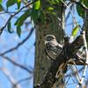 Common Nighthawk (Chordeiles minor)