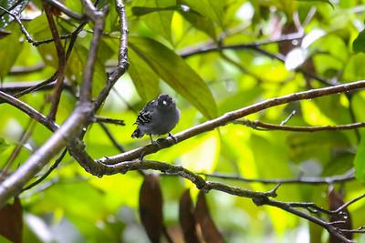Amazonian Antshrike (Thamnophilus amazonicus)