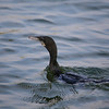 Little Cormorant (Microcarbo niger)