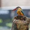 Stork-billed Kingfisher (Pelargopis capensis)