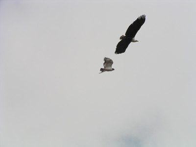Identify Falcon with Fish Eagle