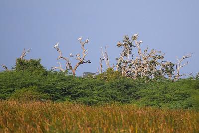 Spot-billed Pelican? (Pelecanus philippensis)