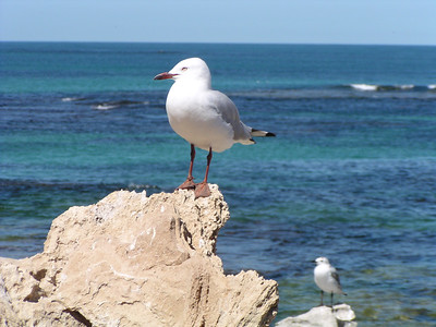 Penquin Island, Western Australia