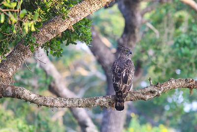 Changeable Hawk-eagle (Nisaetus cirrhatus)