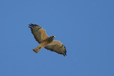 Swainson's Hawk (Buteo swainsoni)