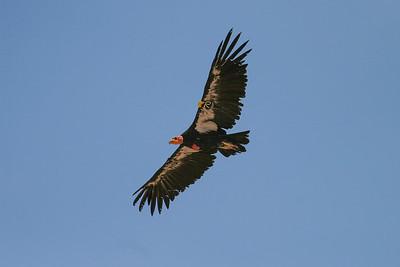 California Condor (Gymnogyps californians)