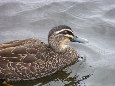 Pacific Black Duck (Anas superciliosa)