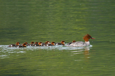 Common Merganser - Female (Mergus merganser)