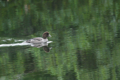 Common Goldeneye - Immature (Bucephala clangula)