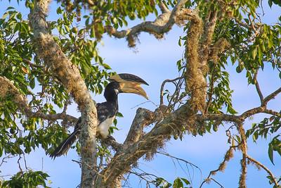 Malabar Pied Hornbill (Anthracoceros coronatus)