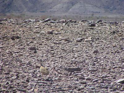 Karoo Korhaan (Eupodotis vigorsii)