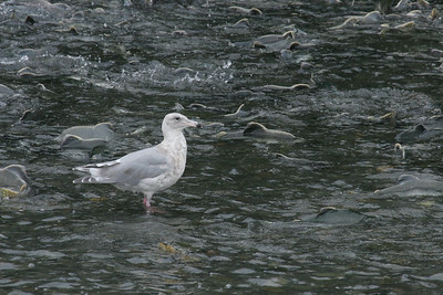 Glaucous-winged Gull - Immature (Larus glaucescens)