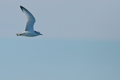 Black-legged Kittiwake  - Immature (Rissa tridactyla)