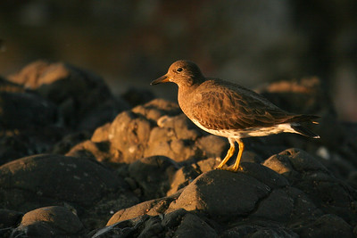 Surfbird (Calidris virgata)