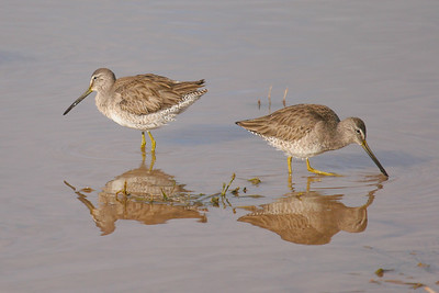 Long-billed Dowitcher (Limnodromus scolopaceus)