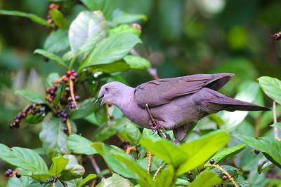Plumbeous Pigeon (Patagioenas plumbea)