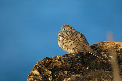 Barred Ground Dove (Geopelia striata)