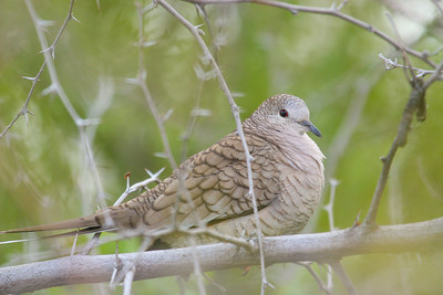 Mexican Dove(Columbina inca)