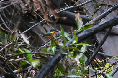 American Pygmy Kingfisher (Chloroceryle aenea)