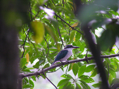 Collared Kingfisher (Todirhamphus chloris)