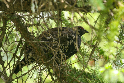 Spruce Grouse (Falcipennis canadensis)