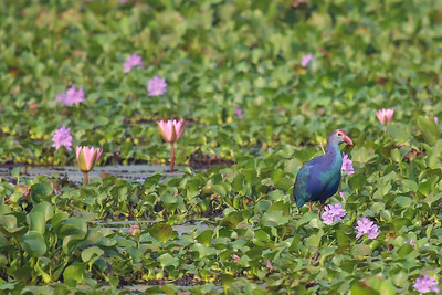 Grey-headed Swamphen (Porphyrio poliocephalus)