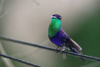 Violet-crowned Woodnymph (Thalurania colombica)