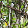 Asian Paradise Flycatcher (Terpsiphone paradisi)