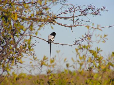 Magpie Shrike (Urolestes melanoleucus)