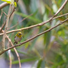 Oriental White-eye (Zosterops palpebrosus)