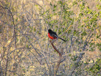 Crimson-breasted Shrike (Laniarius atrococcineus)