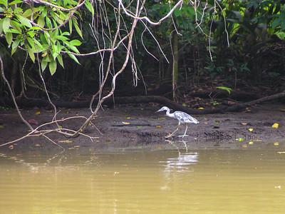 Little Blue Heron - Juvenile (Egretta caerulea)
