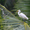 Intermediate Egret (Egretta intermedia)