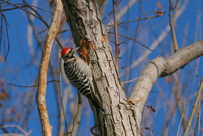 Ladder-backed Woodpecker (Dryobates scalaris)