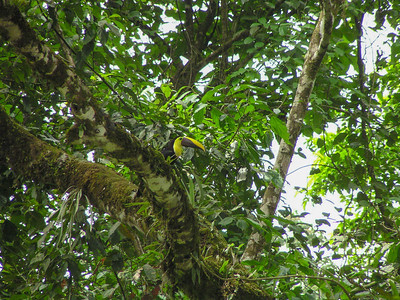 Yellow-throated Toucan (Ramphastos ambiguus)