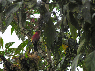 Crimson-mantled Woodpecker (Colaptes rivolii)