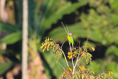 Plum-headed Parakeet (Psittacula cyanocephala)