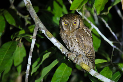 Tropical Screech Owl (Megascops choliba)