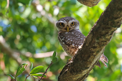 Spotted Little Owl (Athene brama)
