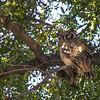 Verreaux's Eagle-owl(Bubo lacteus)