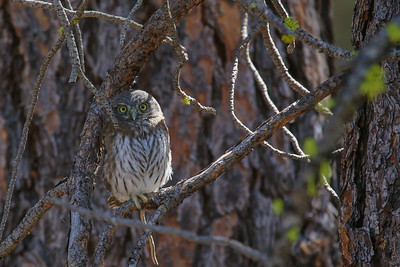 Northern Pygmy Owl (Glaucidium californicum)