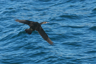 Brandt's Cormorant - Non-breeding (Phalacrocorax penicillatus)