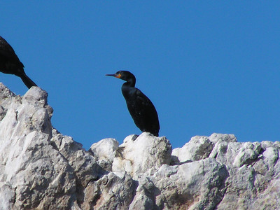 Cape Cormorant (Phalacrocorax capensis)