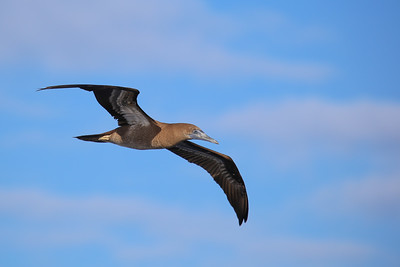 Brown Booby - Juvenile(Sula leucogaster)